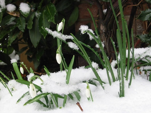 Harbinger of Spring Snowdrops in the snow. (Image Wikimedia Commons)