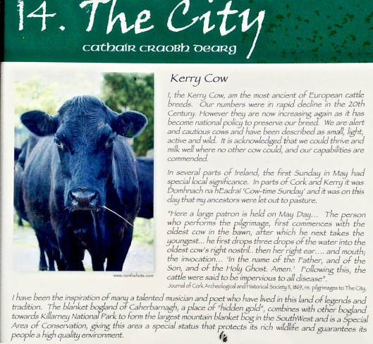 city cow